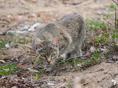 African Wildcat stalking