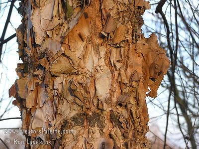 Betula nigra 'BNMTF' - Dura-Heat® Birch