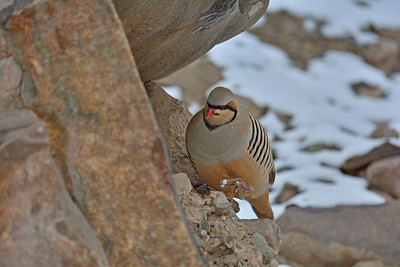 Chukar Partridge or Chukar (Alectoris chukar) against a blue sky in Hemis national park, Ladak, India