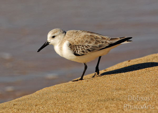 Sandpipers, Plovers and Sanderlings