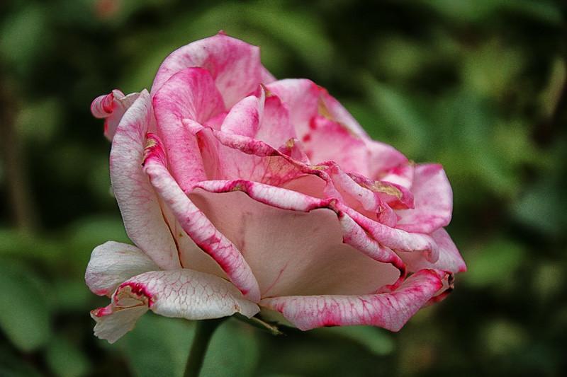 July 15 - Rose_.jpg