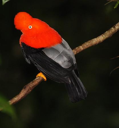 Cock Of The Rock Peru 2008