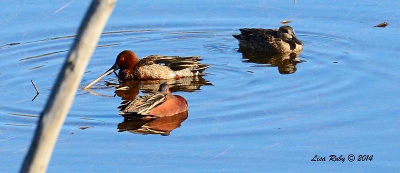 Cinnamon Teals - 1/2/2015 - Lake Hodges, southeast trail (south of footbridge)