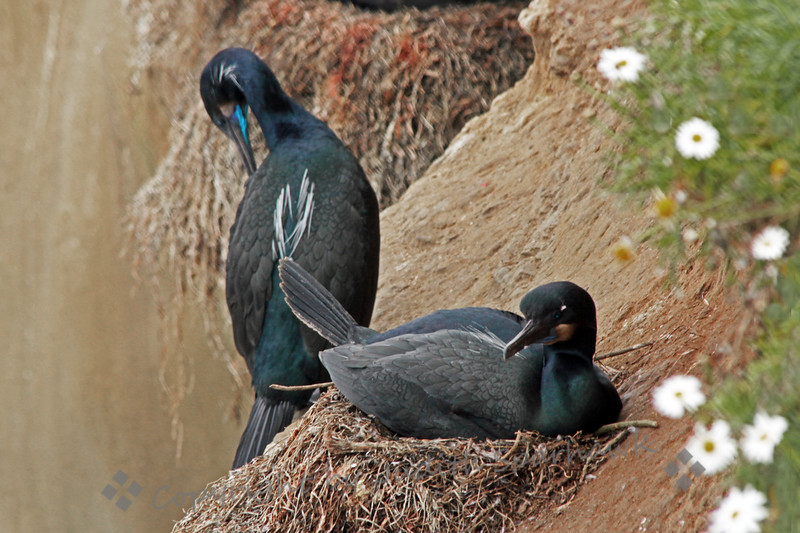 Nesting Brandt's Cormorants ~ This pair of cormorants had eggs in their nest, perched high on the cliff side above the ocean.  They showed the white breeding plumes and bright skin patches at the neck.