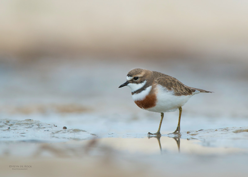 Double-banded Plover, Lake Conjola, NSW, Aug 2013-9.jpg
