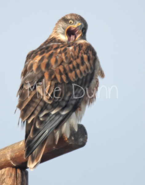 Ferruginous Hawk-128