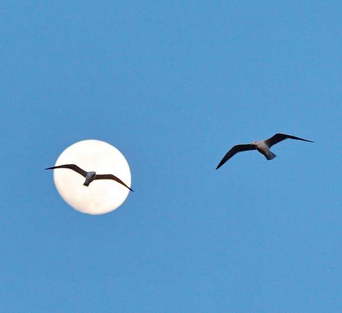 Lune et mouettes