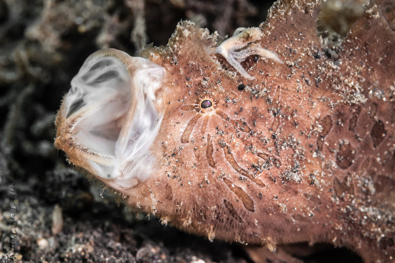fish frogfish hairy yawn-9183.jpg