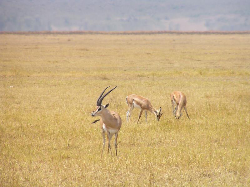 Grant's Gazelle (Nanger granti)
