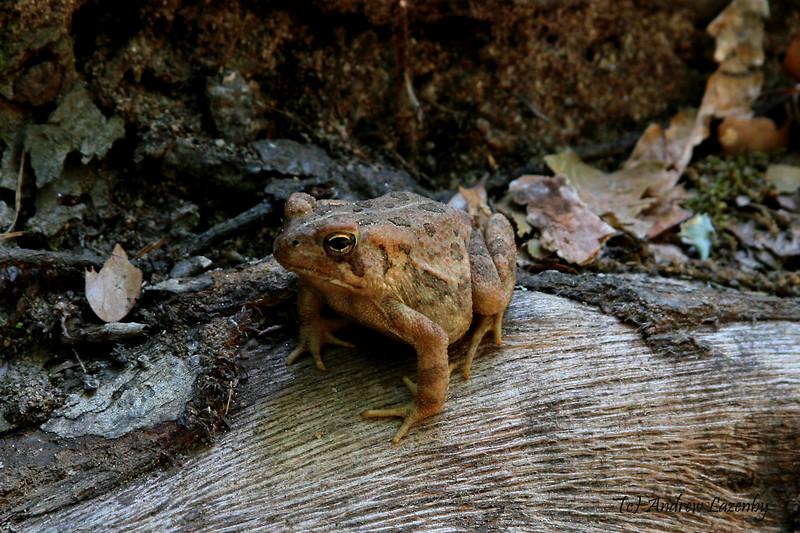 Fowlers Toad 2.jpg