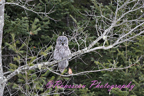 Great Gray Owl 1-21-17