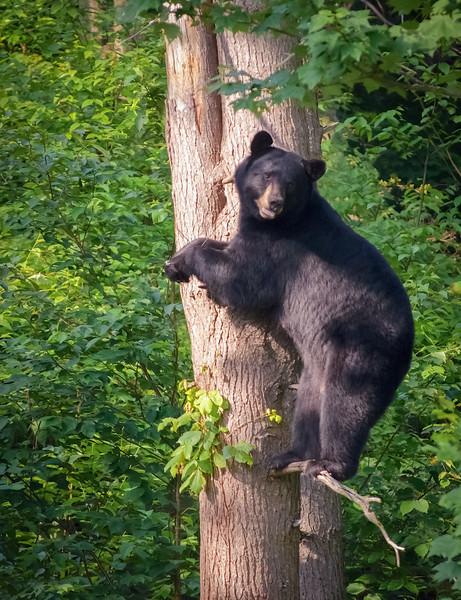 Mama Bear in Tree