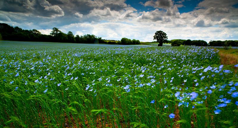 Flax field Warwickshire