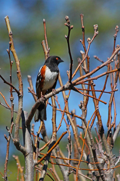 Spotted Towhee ~ This towhee seemed to be about the most commonly seen and heard bird at Descanso Gardens this week.  This one held still long enough for a quick camera shutter click.  I love his red eye.