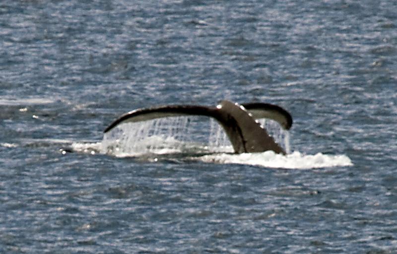 humpbackwhalebreaching1.JPG