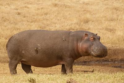 Hipopótamo común/Kiboko/Common Hippopotamus