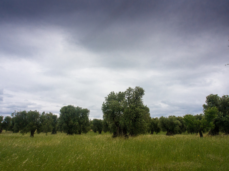 brancat olive trees.jpg
