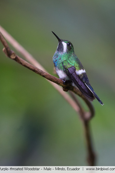 Purple-throated Woodstar - Male - Mindo, Ecuador