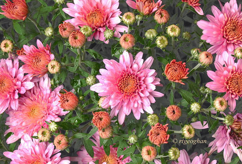 Sept 16_Pink Chrysanthemums_8862.jpg