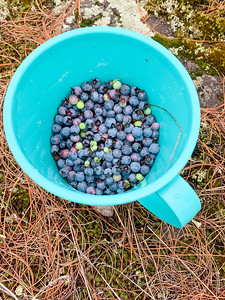 2020 08 09: Berry Picking, Superior Hiking Trail, Silver Bay, MN