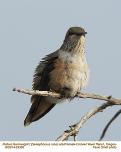 Rufous Hummingbird F29386.jpg