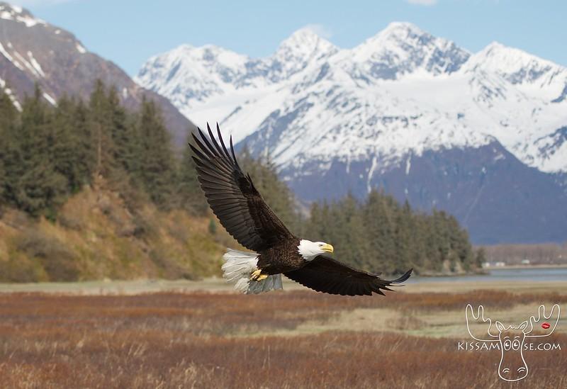 Bald Eagle, Valdez, AK