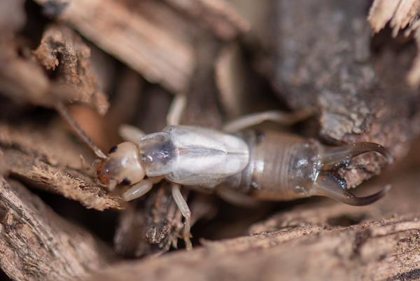 Dermaptera - Earwigs