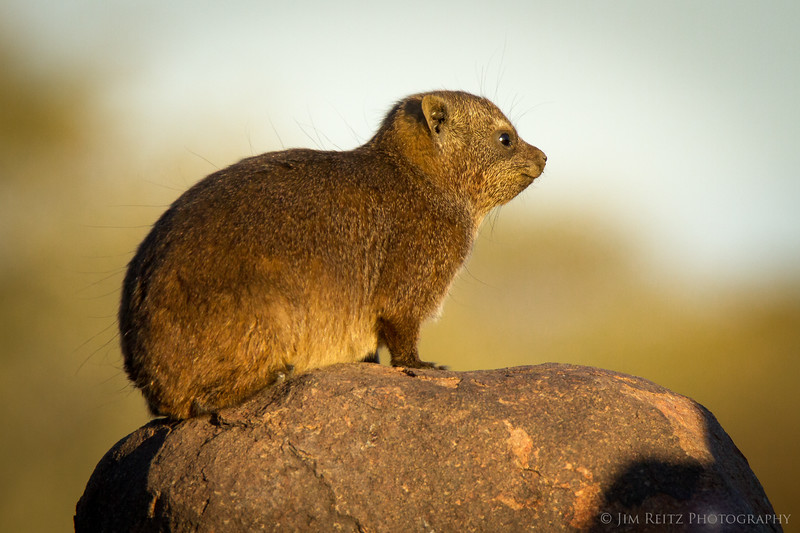 The Rock Hyrax - locally known as Rock Dassies - one of the main residents of the Quiver Tree forest in southern Namibia. Amazingly, they're actually more closely related to elephants and manatees than rodents.