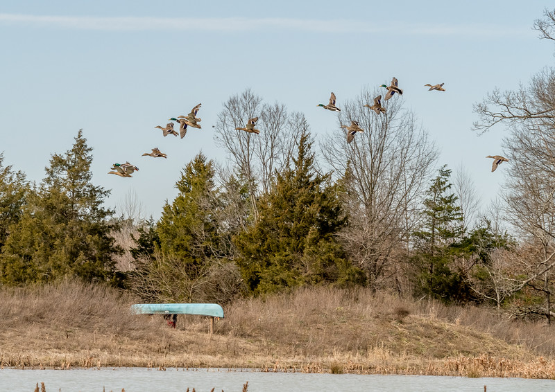 56 Feb 20 Mikes Flying Ducks (1 of 1).jpg