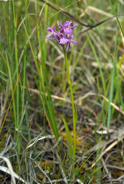 D. curvifolia Skedlo 20-07-17 (10).jpg