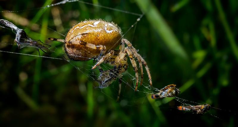 Spiders-Arachnids-171.jpg