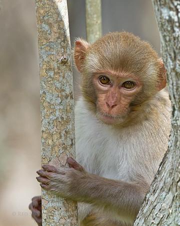Rhesus Macaque Monkeys of Florida