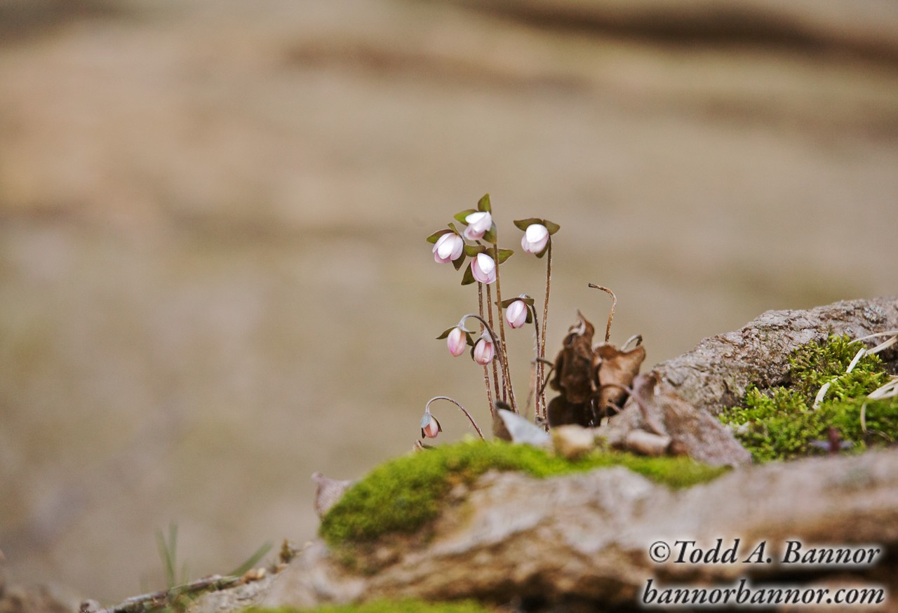 Hepatica or liverwort, Starved Rock State Park, Illinois