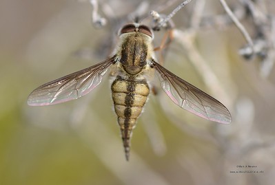 Tangle-veined flies (Nemestrinidae)