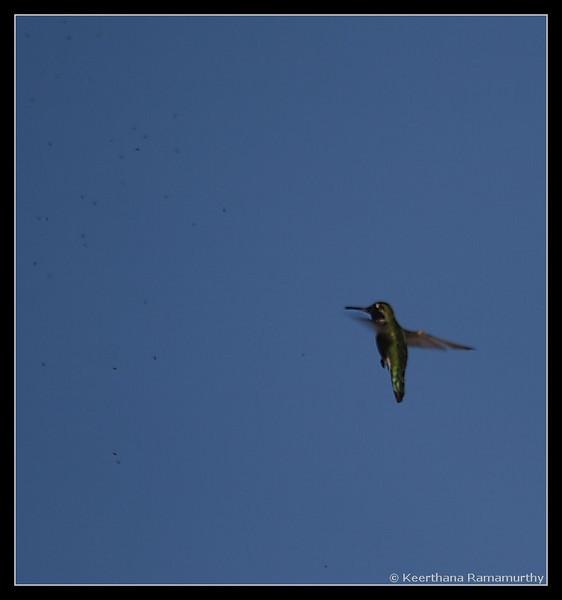 Anna's Hummingbird feeding frenzy, Oceanside, CBC Count, San Diego County, California, December 2008