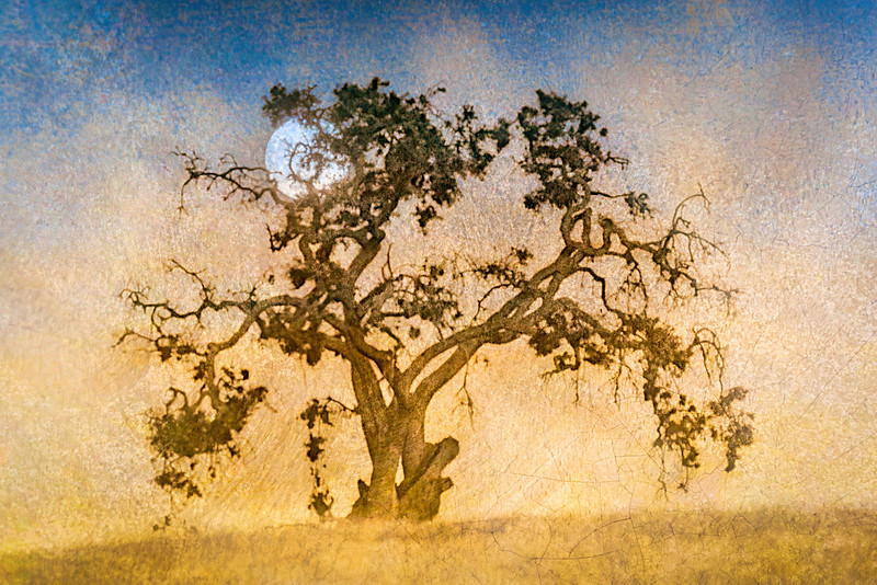 Blue Oak and Rising Harvest Moon