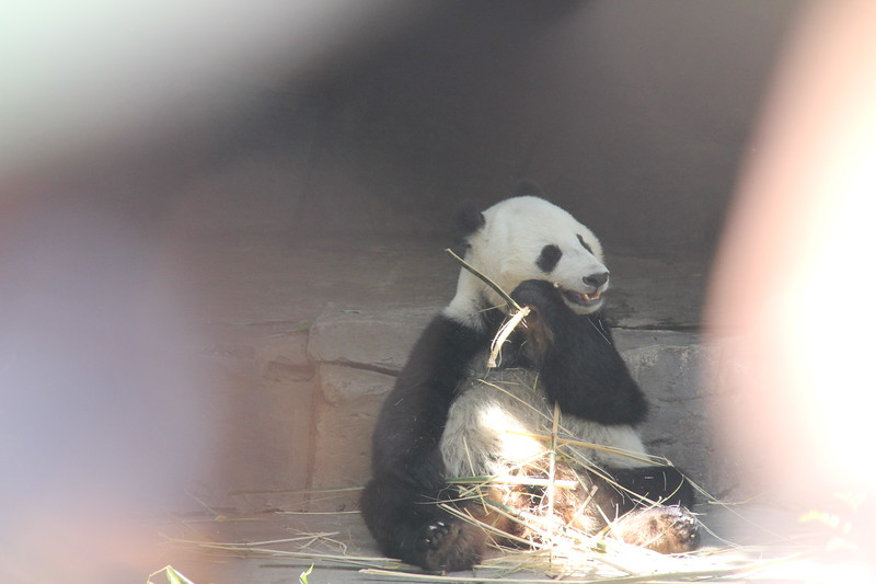 20170807-135 - San Diego Zoo - Giant Panda.JPG