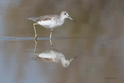 Common Greenshank (Archibebe claro)