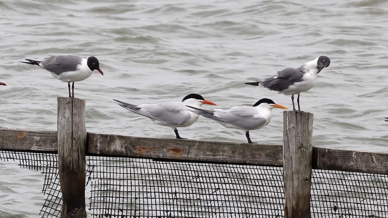 Laughing Gull, Caspian Tern and Royal Tern @ Roloff Park