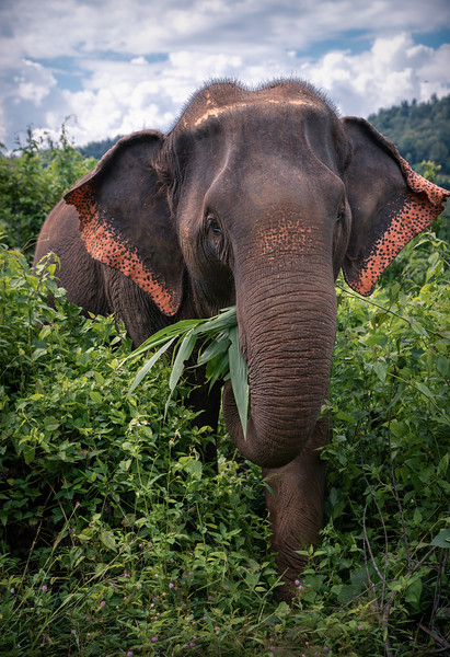 Thai Elephant Eating || Chiang Mai
