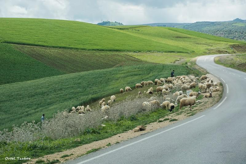 כבשים בדרך.jpg
