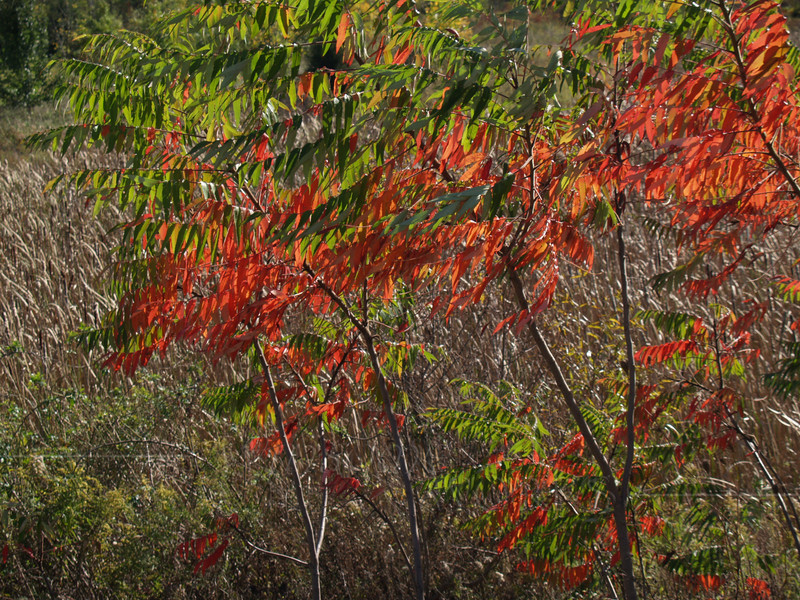 Staghorn Sumac in Autumn Finery, PA