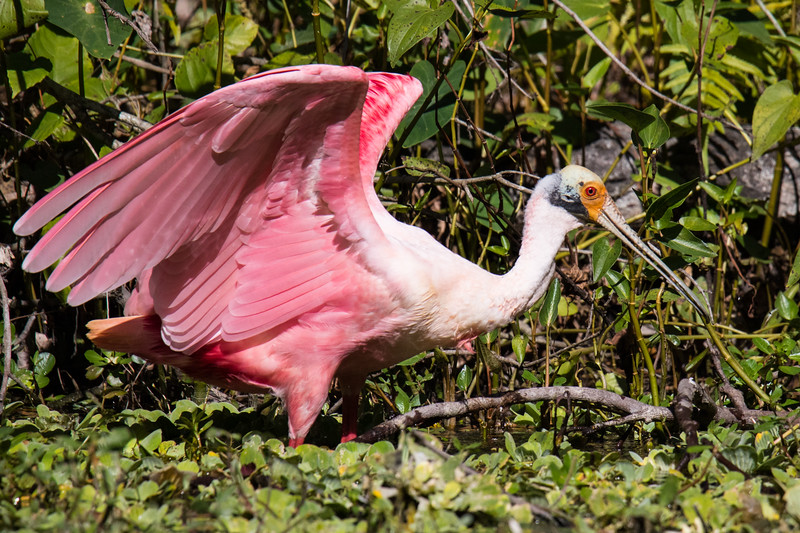 Roseate Spoonbill St Pete FL 2020-6.jpg