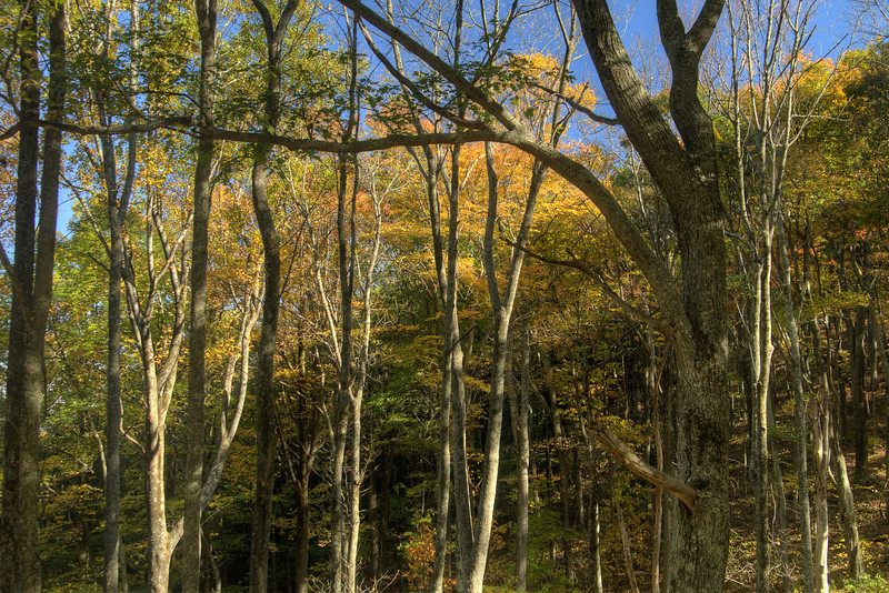 The sun shines through brilliant fall leaves along Highway 421 in Shady Valley, TN on Monday, October 20, 2014. Copyright 2014 Jason Barnette