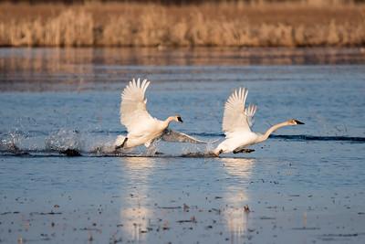April 12, 2015 - Trumpeter Swans
