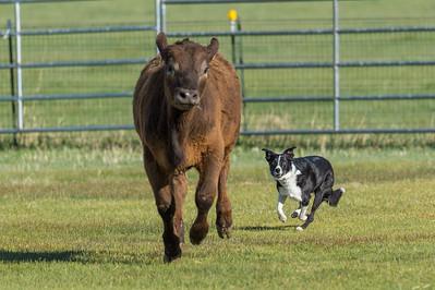 Stockdog Trial 4-3-16