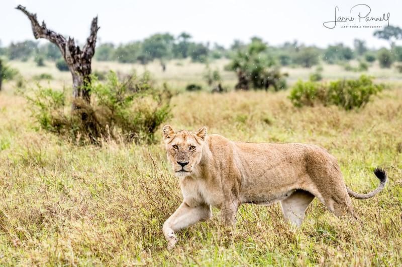Lioness Hunting - Kruger