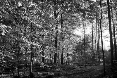 Simpsonwoods forest