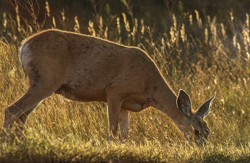 DA011,DT,Deer at Roosevelt N.P. SDakota).jpg
