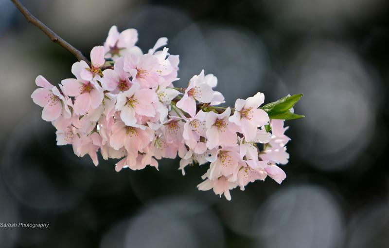 CherryBlossomSP-30.jpg
